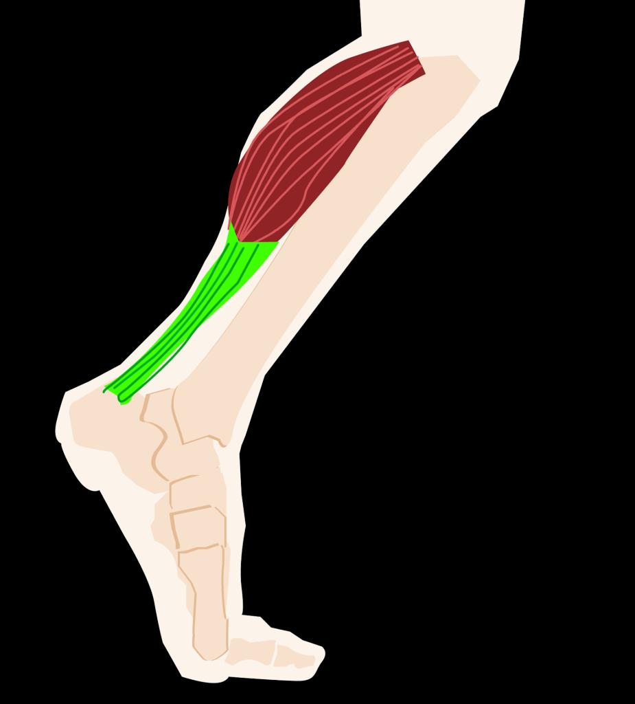 tricipite-osteopatia